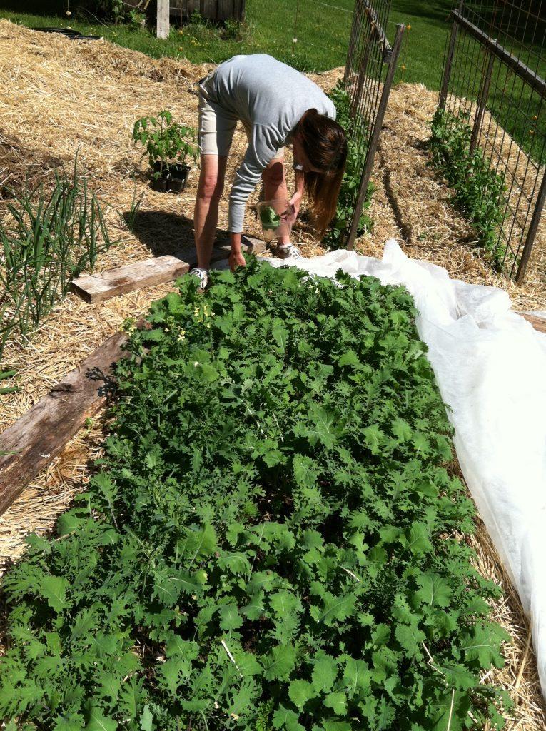 Spring Kale Bed